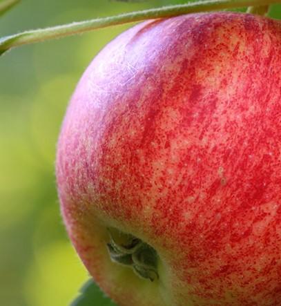 Maass Apfel Topaz Brand